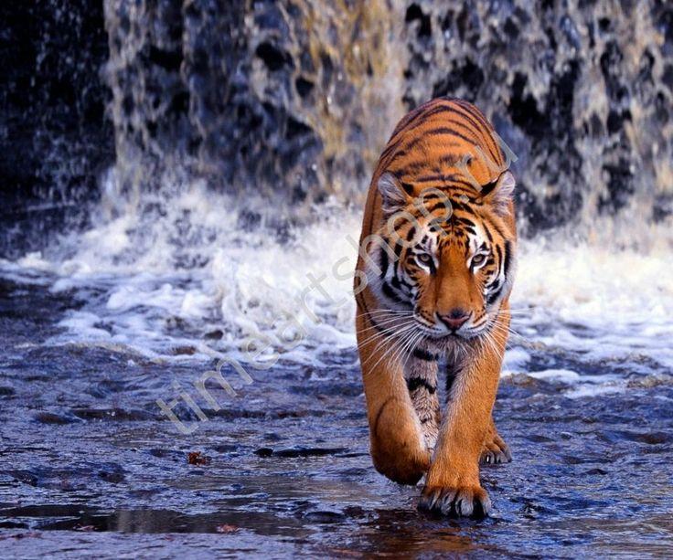 Бенгальский тигр, картина раскраска по номерам, размер 40*50см, картины своими руками. 750 руб.