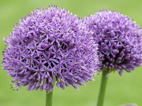 les 25 meilleures id es concernant fleurs violet fonc sur pinterest fleurs de mariage mauves. Black Bedroom Furniture Sets. Home Design Ideas