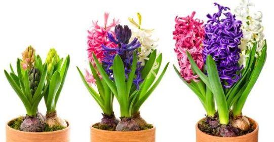 Začněte s rychlením hyacintů, vykvetou vám na Vánoce