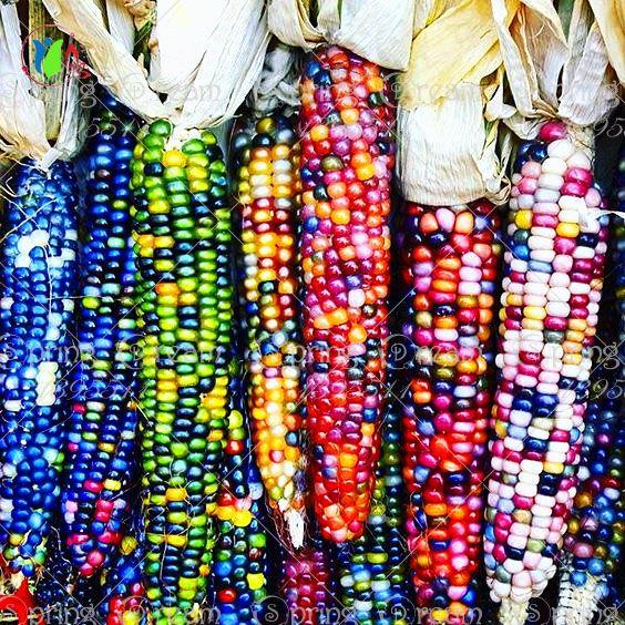 20 doce arco íris sementes de milho, colorido vegetais sementes de milho de grãos de cereais, 95% + de germinação, Vegetal de alta qualidade para casa e jardim