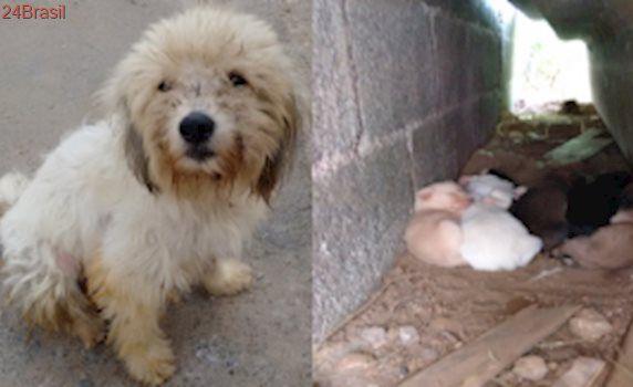 Poodle estressada e deprimida dá à luz em terreno baldio na Zona Sul de SP