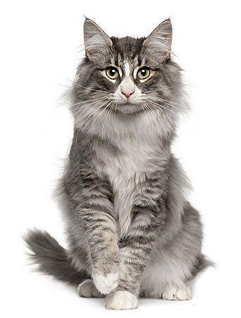 Le chat des forêts norvégiennes
