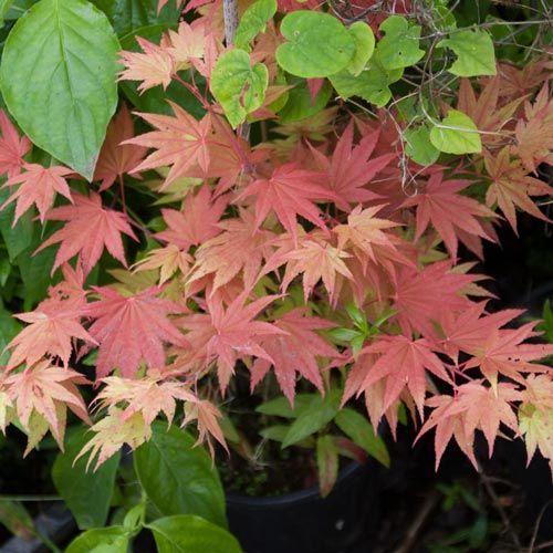 Moonrise Japanese Maple - Trees | Spring Hill Nurseries
