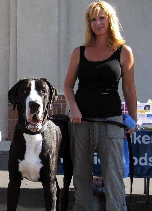 Information about mantle Great Danes, includes description of the color and photo.
