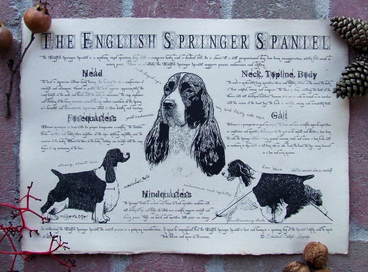 Antique styled dog standard - English Springer Spaniel by Creativedoglover on Etsy