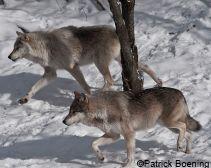 Wolves_Patrick_Boening_credit.jpg (211×168)