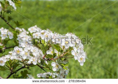 Crataegus monogyna (common hawthorn single-seeded hawthorn) flowers
