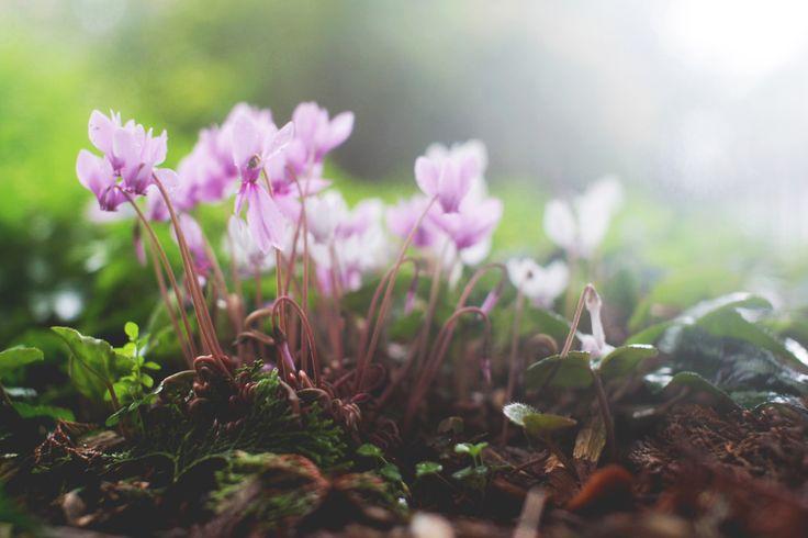Pink flowers  Australia