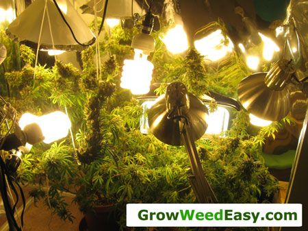 Cheap CFLs can be used to grow cannabis in stealth situations. Source: http://growweedeasy.com/growing-marijuana-what-type-of-lights