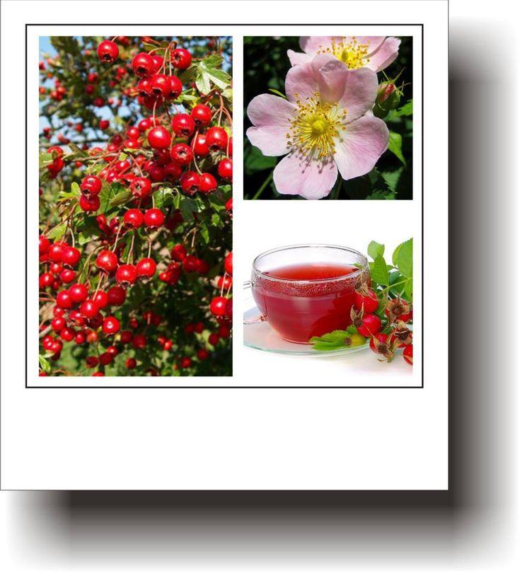 Plante medicinale – MĂCEȘUL