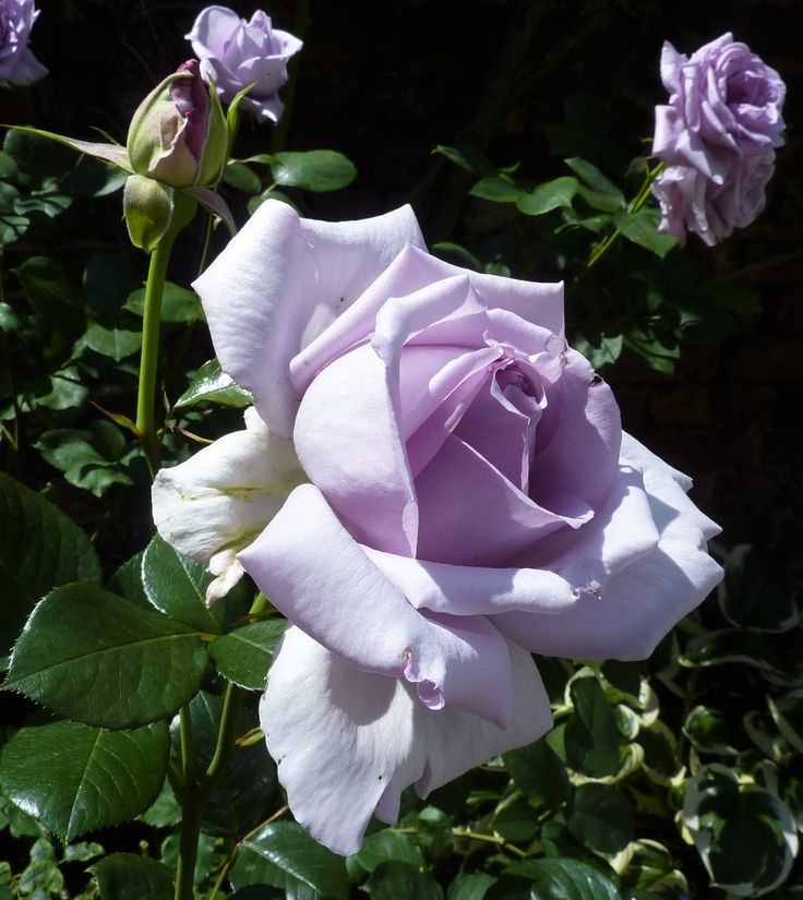 724 best images about roses on pinterest gardens white roses and tea roses - Rose cultivars garden ...