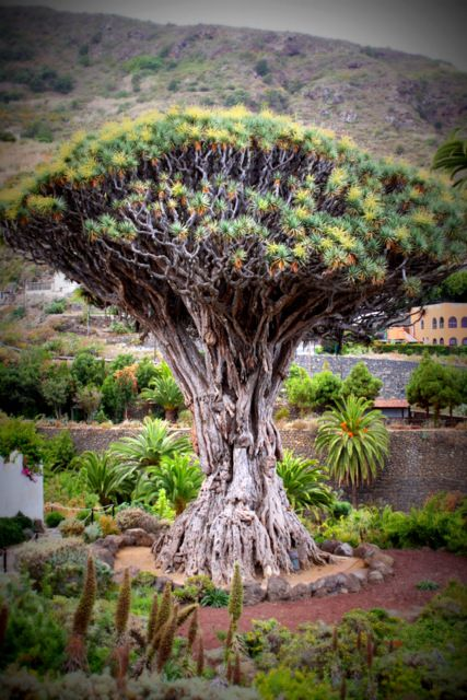 In Icod, close to the Church of San Marcos, stands a famous dragon tree (22 m high, lower trunk diameter 10 m, estimated weight 70 t), which is reputed to be a thousand years old (hence its local name, El Drago Milenario: the Thousand-Year-Old Dragon). While no study seems to have confirmed such longevity for the tree (dracos do not produce annual rings with which to tell their ages; the tree is more likely to have an age in the hundreds of years), it is the long-time symbol of Icod.