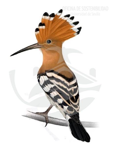 ABUBILLA. Son aves grandes, de unos 25-29 cm de longitud y unos 63 g de masa. Su pico es inconfundible, siendo uno de los más largos y finos de todos los que podamos observar en toda la avifauna de los campus.