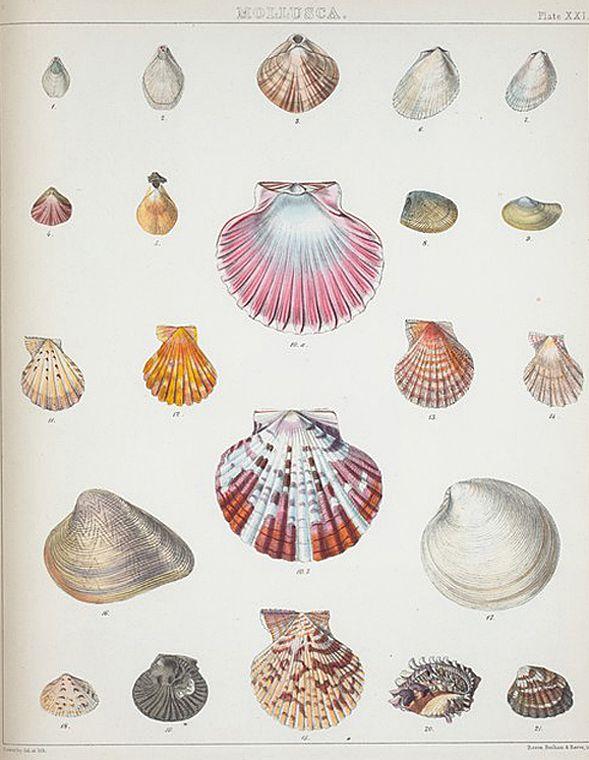 Printable Pictures of Sea Shells | Vintage Printable Sea Shell Prints!