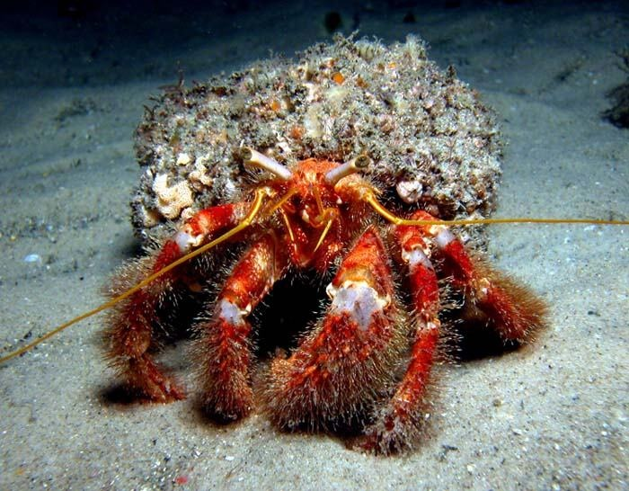 Red hairy legged crabs
