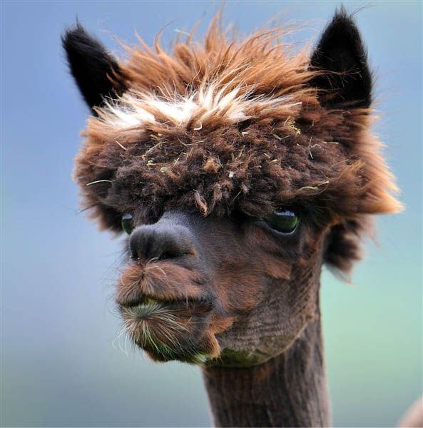 Alpaca Hair Style...Is it just me,or do Alpacas lend themselves to hairstyling?