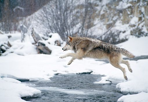 White Wolf : 19 Stunning Photos Of Impressive Wolf Jumps
