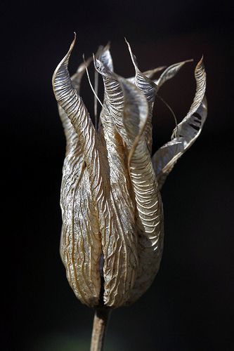 Aquilegia Seed Pod by RestlessFiona