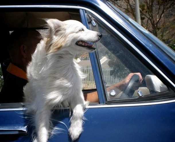 Image result for shaggy dog car window