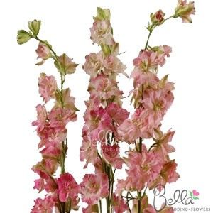Our Pink Larkspur flowers are a great filler to accent floral arrangements. Larkspur has fluttery open blooms towards the base of its long stem and closed flower buds at the top, which provides texture and contrast to wedding flower arrangements. We offer free shipping any larkspur flower order. Order or buy fresh cut larkspur and save with farm direct pricing! Note: Seasonally available from December through May only. $79