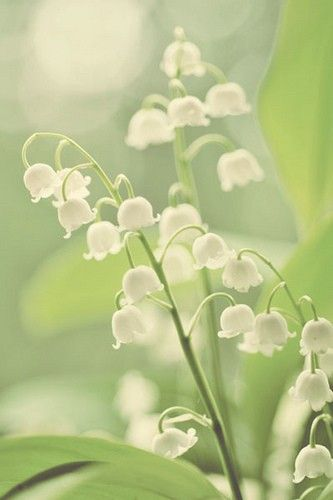 fairy bonnets aka Lily of the Valley: Beautiful Flower, White Flower, Favorite Things, Lilies, Wild Flower Spring, Plants, Gardens, Valley, Favorite Flower