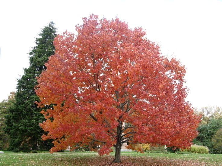 Acer rubrum Red Maple | Full size picture of Red Maple, Scarlet Maple 'Embers' ( Acer rubrum )