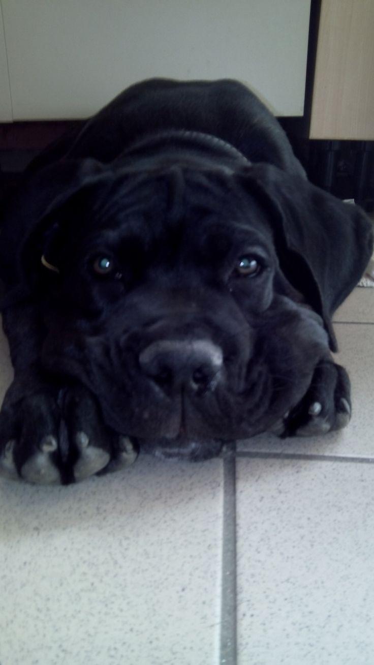 Il mio cucciolo CC di 4 mesi...Argo