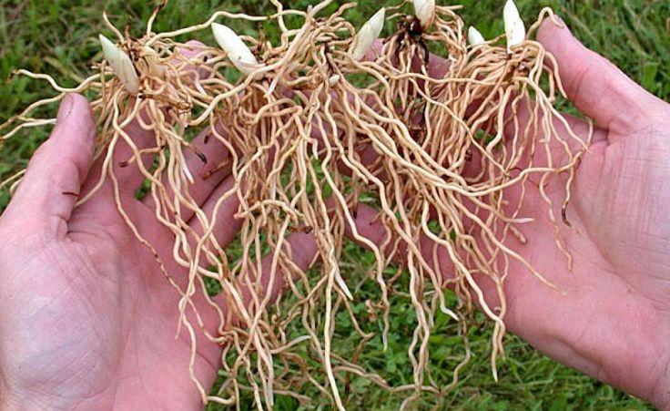 Im Herbst ist Pflanzeit für Frauenschuh-Orchideen. Das Wurzelwerk wird im Pflanzloch ausgebreitet und die Sprossknospe nur zwei Zentimeter mit lockerer Erde bedeckt