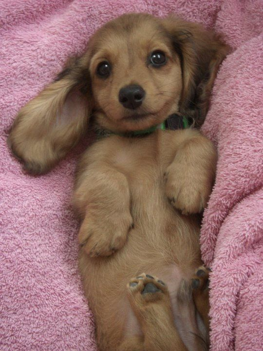 Doxie Puppy in a blanket - http://puppypicturesplease.com/puppy-in-a-blanket