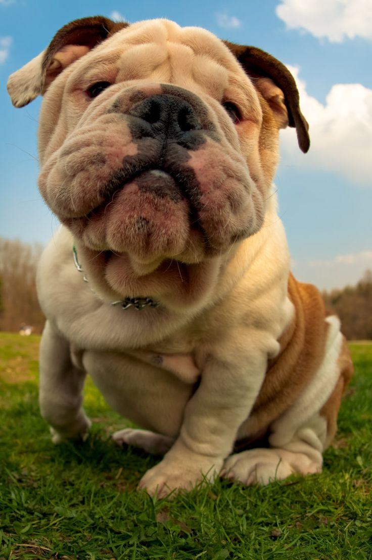 15 Pin Anjing Bulldog Yang Wajib Dilihat Anak Anjing Bulldog
