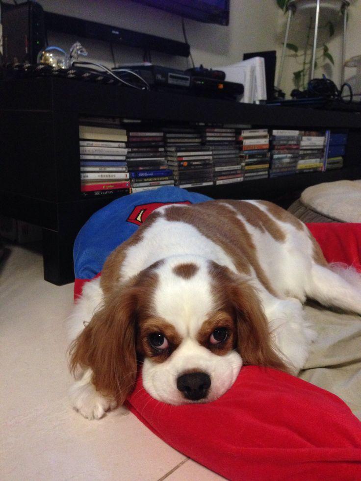 Charlie #kingcharlesspaniel #dogs #animals #pets #cute #love
