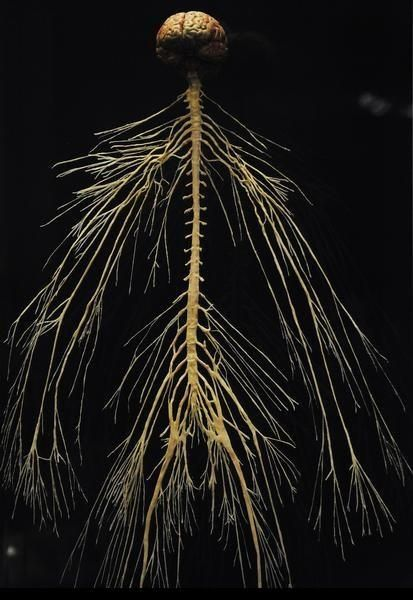 "A map of the human nervous system. The central and peripheral nervous system of a plastinated cadaver are part of the ""Body Worlds and The Story of The Heart"" exhibit. (Cyrus McCrimmon, The Denver Post )"