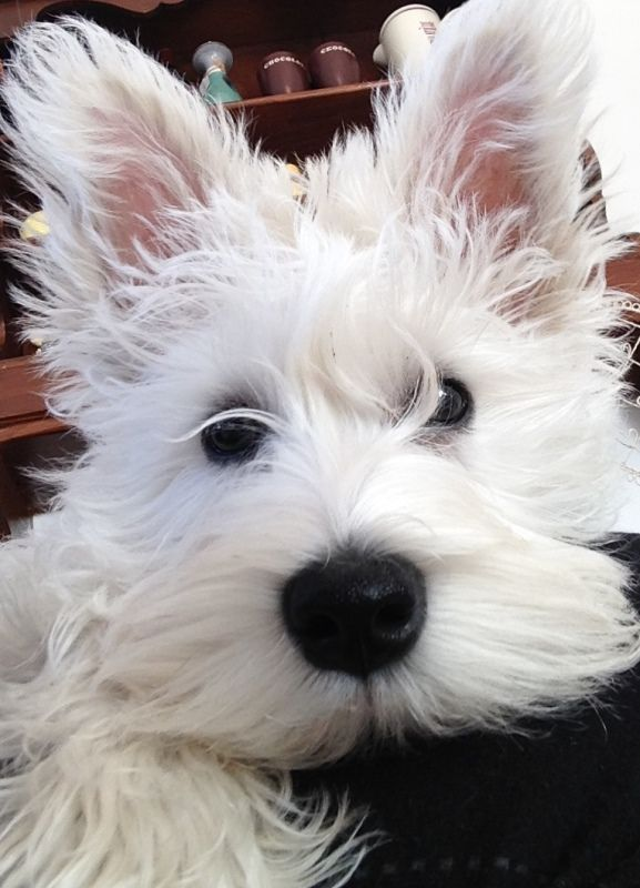 """Schnauzer Puppy Dorothy - Getting better at this """"Selfie thing"""""""