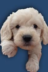 Standard Goldendoodle Puppies For Sale Near Las Vegas Nv Us