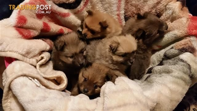 Pomeranian Purebred Puppies Puppies Pomeranian Puppies For Sale