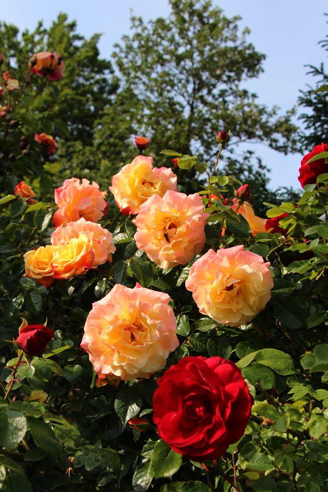 17 best images about vrtnice roses arboretum vol ji. Black Bedroom Furniture Sets. Home Design Ideas