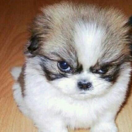 83175af65b016801d357e472da5420a1 shihtzu pomeranians 45 best angry pups! images on pinterest animal babies, cubs and