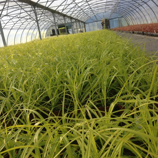 Our newest home bred variety of Carex. Carex Everillo now available all over Europe and soon to be available in USA and Japan.