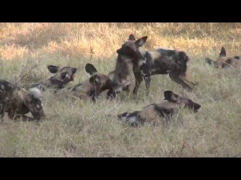 Животные Африки. Дикие собаки. Охота/African animals. wild dogs. Hunting