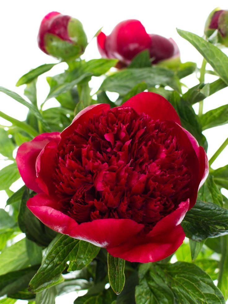 ber ideen zu rote hochzeitsblumen auf pinterest rote hochzeitsstr u e rote hochzeit. Black Bedroom Furniture Sets. Home Design Ideas