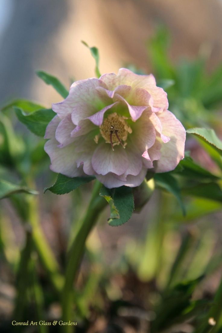 189 best hellebores images on pinterest flowers lenten rose and