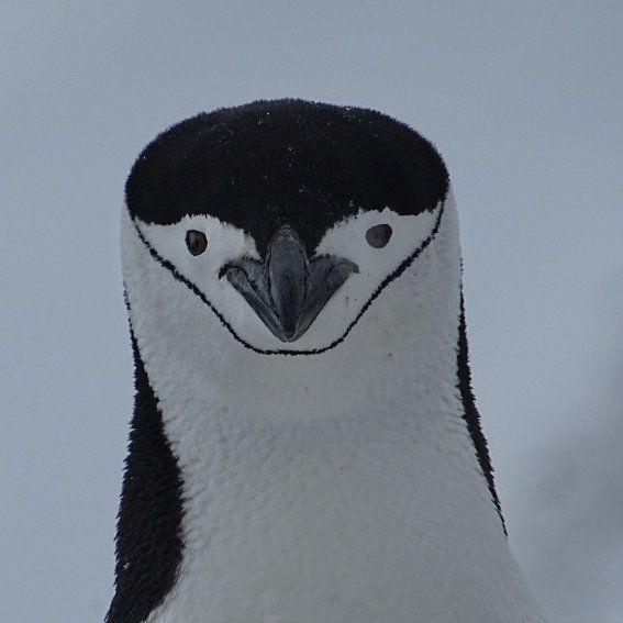 Happy sunday! . . . #chinstrappenguin #zügelpinguin #pinguin #penguins #antarctica #antarktis #pinguino #closeup #wildlifephotography #reiseblogger_de  #wildlifeaddicts #wildlife_seekers #wildlifeonearth #instawildlife #naturelovers #adventure #ig_penguin #discoverearth #natgeotravelpic #birdsofinstagram #majestic_earth #explore #collectmomentsnotthings #travelblogger #msfram #hurtigruten #picoftheday #snowyday #frozencontinent