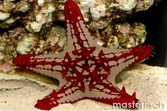 General red starfish