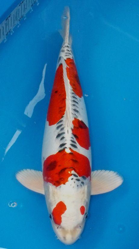 Les 55 meilleures images du tableau kujaku sur pinterest for Koi ou poisson rouge