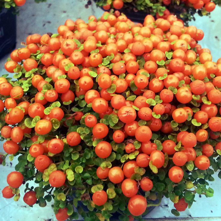 """Koralbær, Nertera granadensis, er en sjov stueplante med fine, små koralfarvede bær, som sidder på den kompakte plante meget længe. På engelsk bliver planten kaldt """"pin-cushion plant"""" (knappenålspude), hvilket passer meget godt til hele Pinterest-konceptet. #koralbær #nerteragranadensis #stueplante #nemmeplanter #pincushionplant #coralbeadplant #easyhouseplant #cutehouseplant #plantorama"""