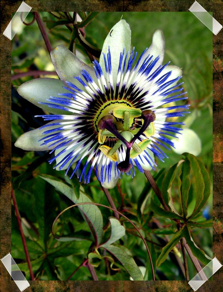 native brazilian flowers | Passion Flower2 Mtnsp