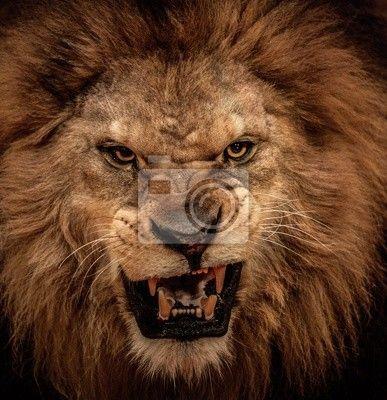 Fototapete aggressiv, aufgebracht, closeup - close-up schuss von brüllender löwe  ✓  Breite Materialauswahl ✓ 100% Öko-Druck ✓ Sieh die Meinungen unserer Kunden!