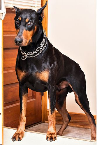 477 best images about dobermann on pinterest. Black Bedroom Furniture Sets. Home Design Ideas