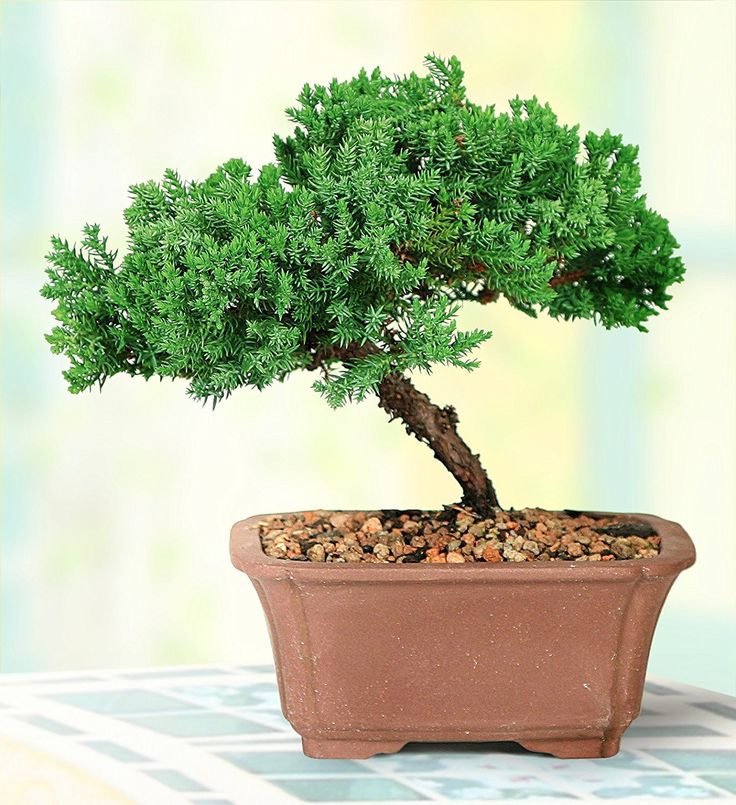 Brussel's Green Mound Juniper Bonsai Best Offer 2017. Brussel's Green Mound Juniper Bonsai - Small Evergreen top pick. Highlights bended trunks and well position branches. Provided by America's biggest bonsai. Brussel's Green Mound Juniper Bonsai #Brussel's #Green #Mound #Juniper #Bonsai