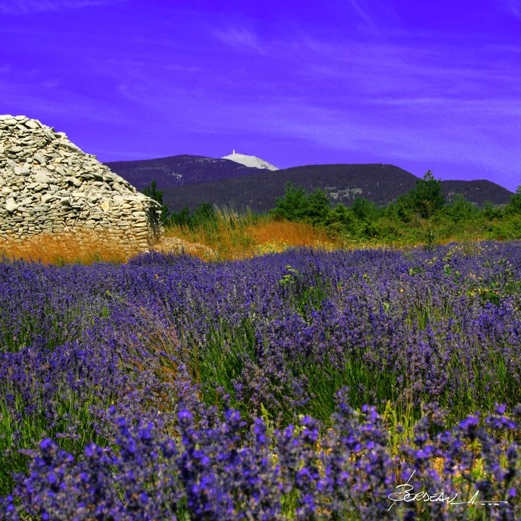 Mont Ventoux, Giant of Provence and Lavander fields.  Stage 15 of the centennial TDF finished here.